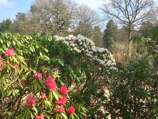 Sevenoaks, UK: Late winter/early Spring Rhododendrons