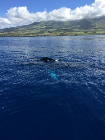 Maalaea, HI: This 4 week old calf was with its Mama right besdie our boat...Male was guarding as well.