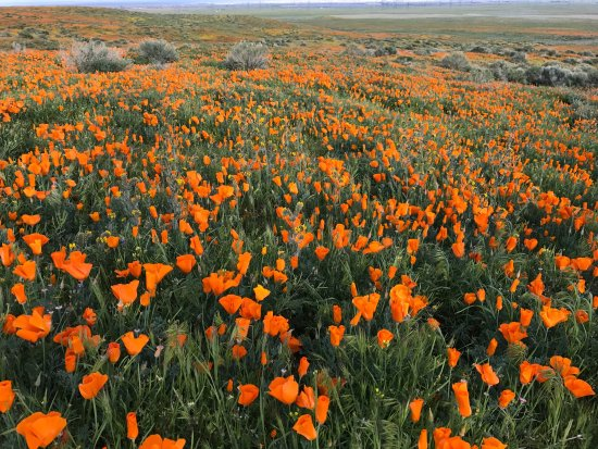 Antelope Valley California Poppy Reserve: Beautiful in bloom. My son had been here once before and saw nothing but brown & dust. He couldn