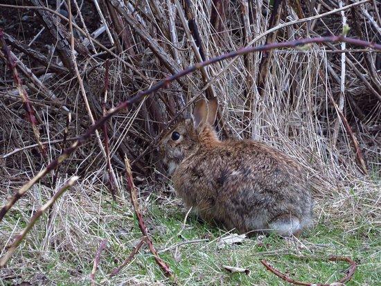 Delta, Canada: Wild rabbit at Raptor Trail