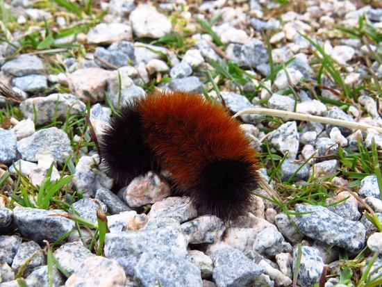 Delta, Canada: Woolly Bear caterpillar at Raptor Trail