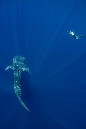 Exmouth, Australia: Whale Shark and Snorkeler