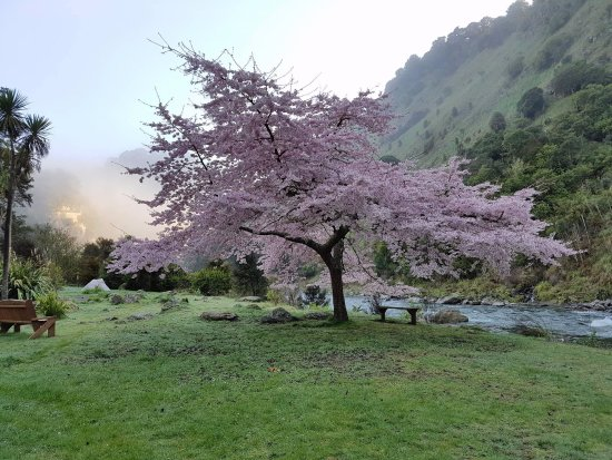 Taihape, Nueva Zelanda: Blossom tree in Spring by the river