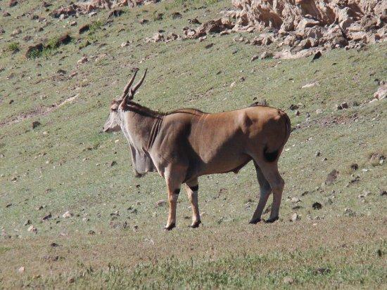 Dorobo Safaris: Eland - largest Antelope
