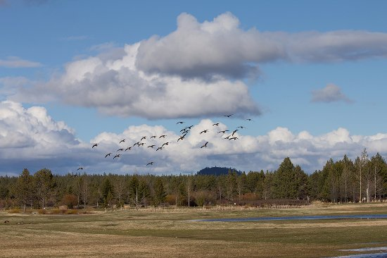 Sunriver Resort: white fronted geese (there were also mallard ducks and canada geese along with many song birds)