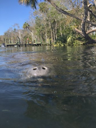 Homosassa, FL: From our wonderful snorkel in late February, 2017.