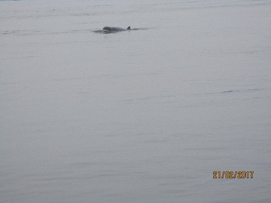 Kampi: an Irrawaddy dolphin (my only photo)