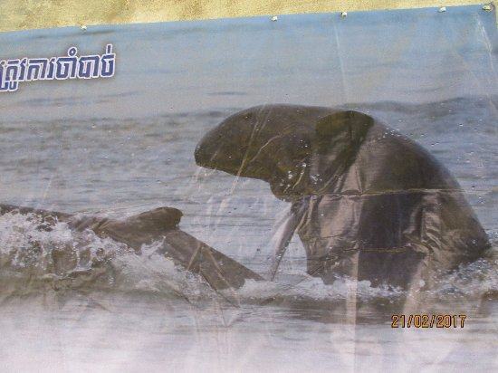 Kampi: poster of the rare dolphin