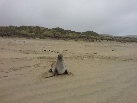 Owaka, Νέα Ζηλανδία: Sea lion pup on Surat Bay beach
