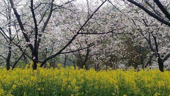 Donghu Scenic Resort : 武漢東湖櫻花公園