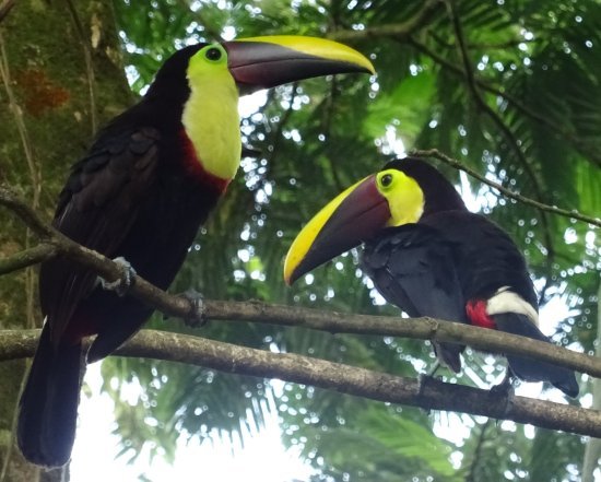 La Virgen, คอสตาริกา: Different varieties of toucan can be seen.