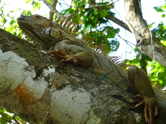 ‪‪Bungalows Ache‬: This iguana wandered past my bungalow as I was sitting in the hammock!‬