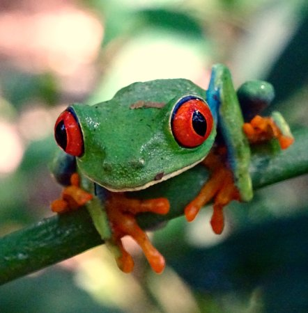 Frogs Heaven: A red-eyed tree frog.