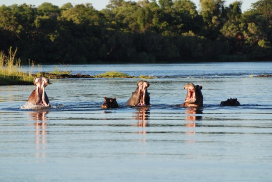 Mama Out of Africa: Hippo's in the Zambezi