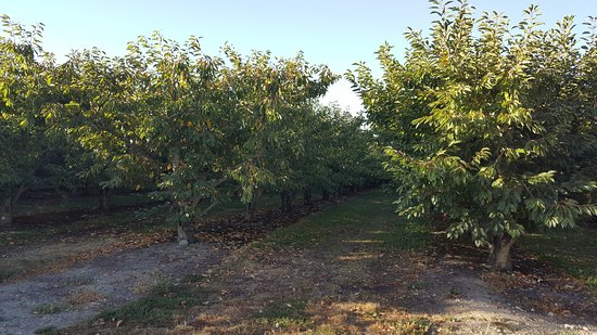 Cromwell, Nieuw-Zeeland: Orchard area, harvest season is over for some fruit type
