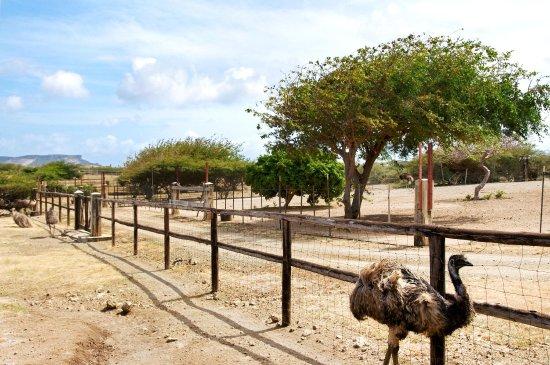 Hilton Curacao: Ostrich Farm
