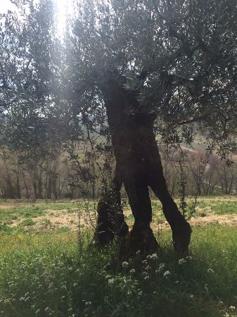 Montefalco, Italië: 100 year old olive tree
