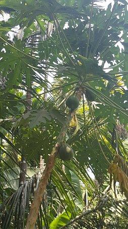Ponda, India: Papaya