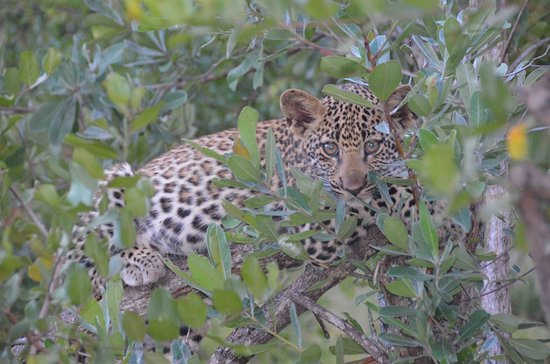 Ulusaba Private Game Reserve, Sudáfrica: Baby leopard
