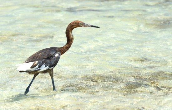 A heron along Lac Bay