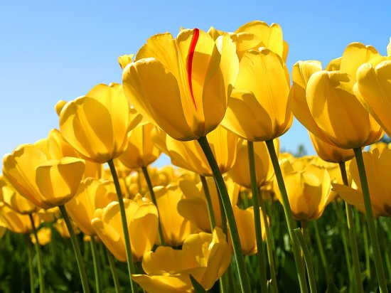 San Pablo, Kalifornien: Tulips