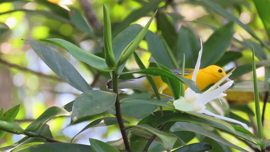 Dominical, Costa Rica: Prothonotary Warbler
