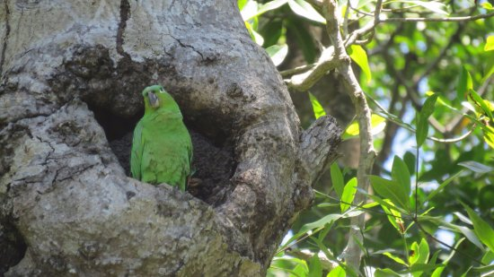 Dominical, Costa Rica: Mealy Parrot