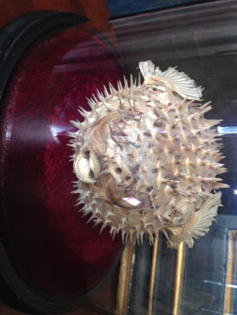 Daventry, UK: Puffer fish in museum room