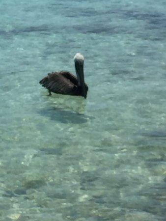 Placencia, Belice: Pelican off Pumpkin Caye.