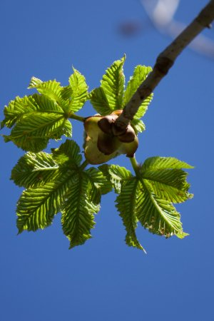 Belmont, NC: Horse chestnut trees just starting to leaf out