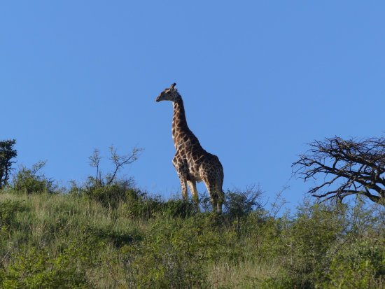Zululand, South Africa: girafe