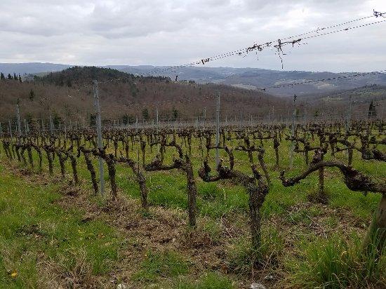 Tuscan Wine Tours by Grape Tours: Chianti Classico Vineyards: Poggio al Sole. I had no idea that the root of the vines are America