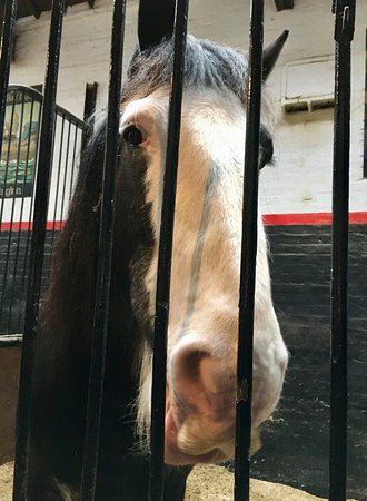 Burton upon Trent, UK: One of the Shire Horses