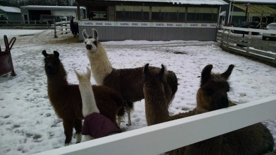 Ballston Spa, NY: Llama farm