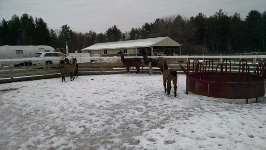Ballston Spa, NY: Llala farm