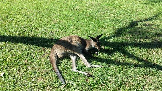 Melaleuca Surfside Backpackers: Cool kangaroo on the hostel grounds!!!