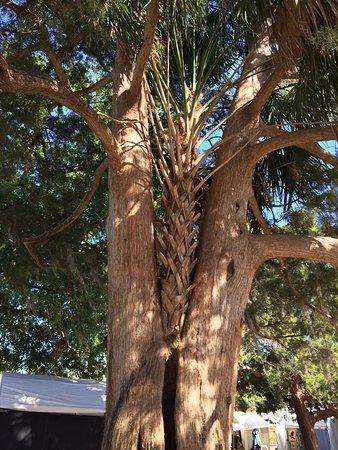 Winter Park, FL: Palm tree slowly killing an oak