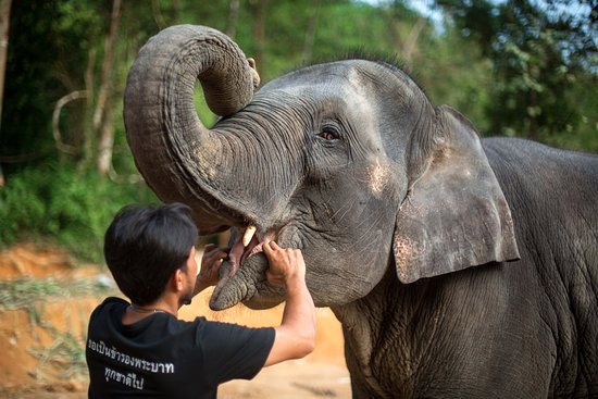 Phang Nga, Thailand: Our head mahout Lek, checking the teeth of his 9 year old girl, Tangahti