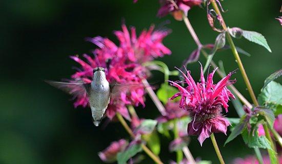 Chestertown, NY: Fern Lodge Hummingbird