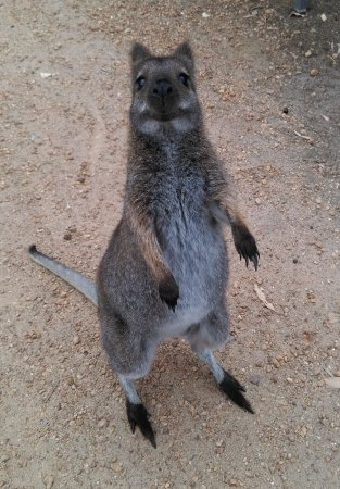 Halls Gap, Australien: Hungry Wallaby