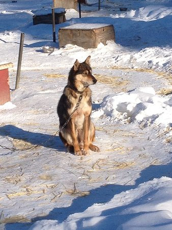 Nenana, AK: One of Bill Cotters Fabulous Sled Dogs