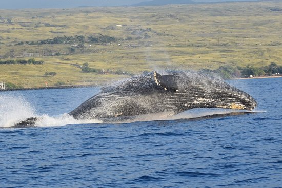 Kawaihae, HI: A humpback whale post breach. Photo/Michael Faughn with permission