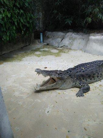 Dusit Zoo: Australian Saltwater Crocodile