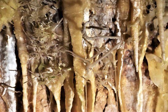 เมือง Yallingup, ออสเตรเลีย: Unusual horizontal growths like spider webs