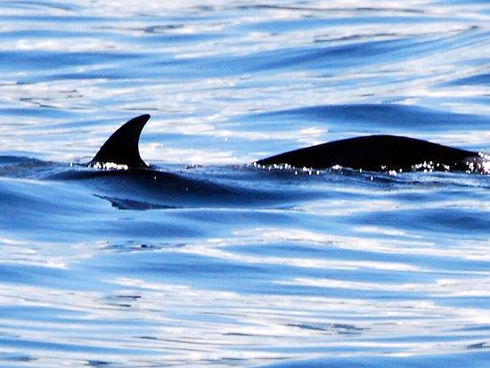 Trois-Ilets, Martinica: dauphins tacheté