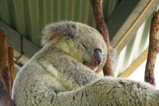 Mosman, Australien: That is one relaxed koala