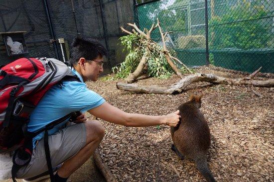 Mosman, Australien: The wallaby is super curious.