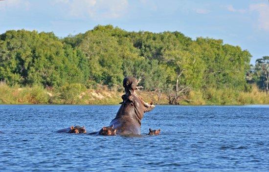 Maun, Botswana: Hippo on Boat Cruise