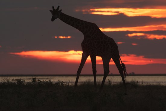 Maun, Botsuana: Giraffe at Sunset, Nxai Pan, Botswana