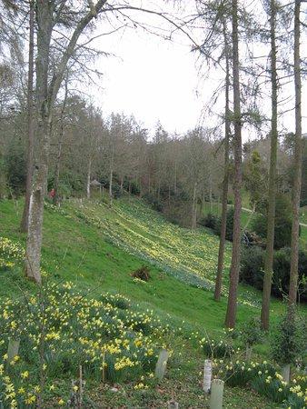 Taunton, UK: Daffodils at Hestercombe